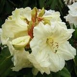 Rhododendron 'Loderi Julie' - Find Azleas,Camellias,Hydrangea and Rhododendrons at Loder Plants